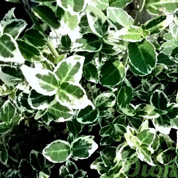 euonymus-fortunei-emerald gaity