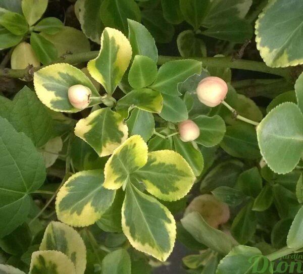 euonymus-fortunei-fusain de fortune-e.t. gold-fruits
