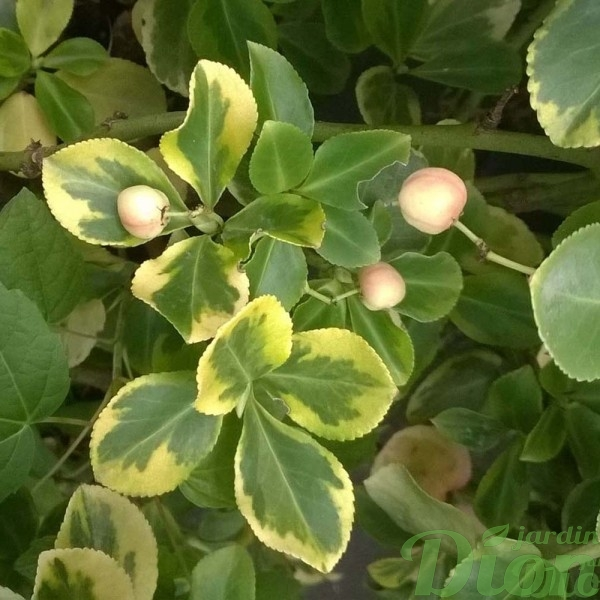 euonymus-fortunei-fusain de fortune-e.t. gold-fruits