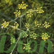 Fenouil (fleurs)