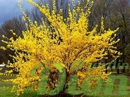 Forsythia Northern Gold