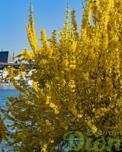 Forsythia. 'Norther gold'