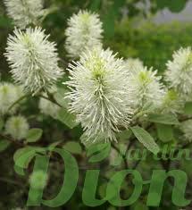 fothergilla-gardenii-mont-airy.png