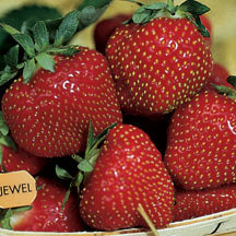 fragaria-jewell-fraisier-jewell.jpg