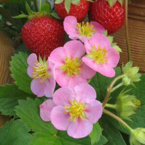 fragaria-rosalyne-fraisier-fraise.jpg