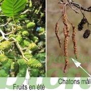 fruits-fleurs-hiver-été-alnus-glutinosa-mâle-femelle-aulne copier