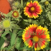 gaillardia-aristata-arizona-sun-gaillarde