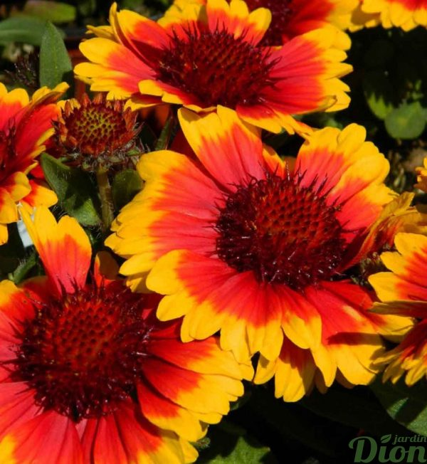 gaillardia-gallo-dark-bicolor.jpg