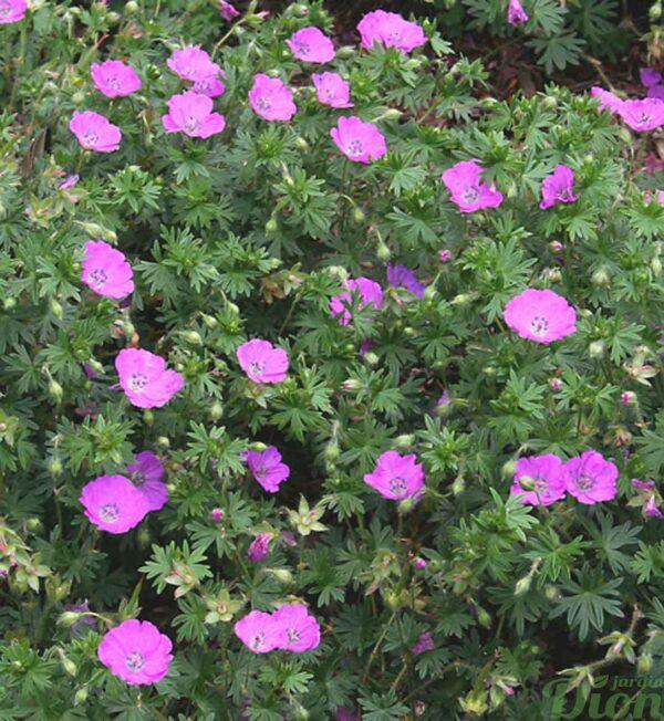 geranium-max-frei.jpg