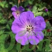 geranium-rozanne-3