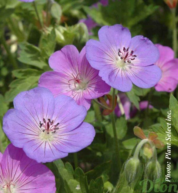 geranium-rozanne.jpg