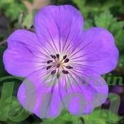 geranium-rozanne