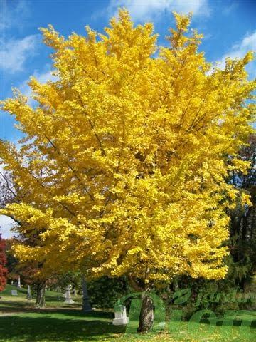Ginkgo Autumn Gold