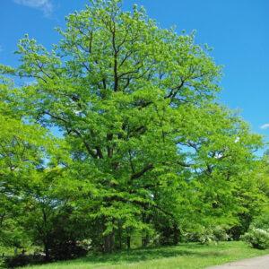 Bienfaits Ginkgo Biloba - 5 plantes pour stimuler la concentration et la concentration