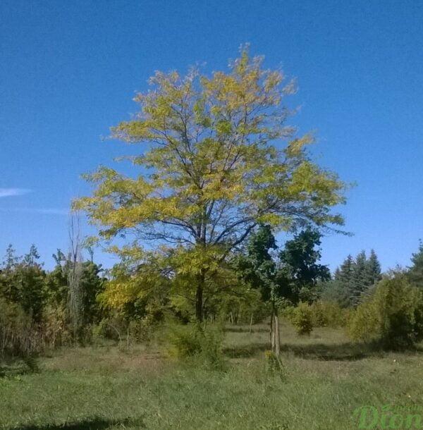 gledtisia-triacanthos-inermis-févier-sunburst-automne