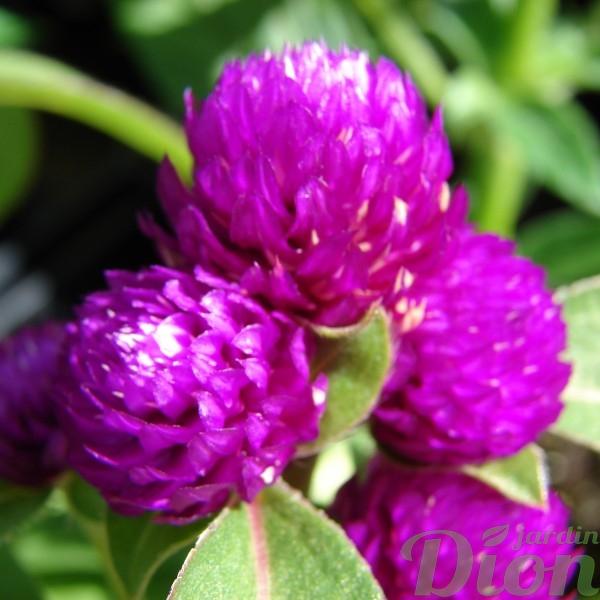gomphrena-globosa-gomphrène-annuelle-rose-fleurs