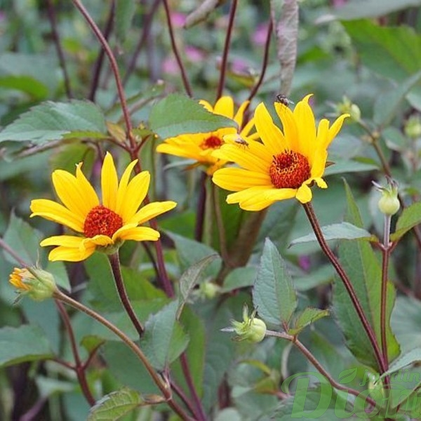 heliopsis-summer-nights