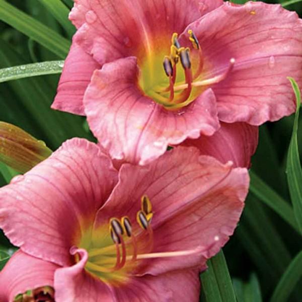 hemerocallis-rosy-returns.jpg