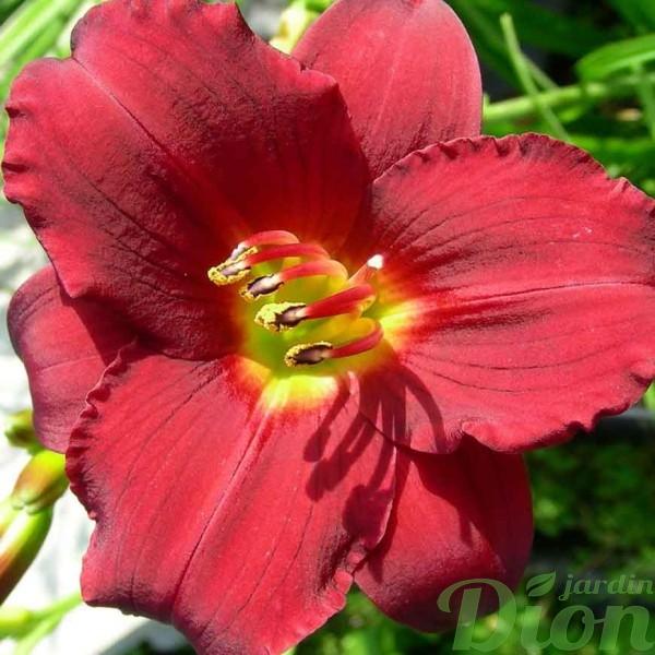 hemerocallis-ruby-doro.jpg
