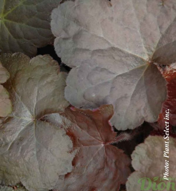 heuchera-a.palace-purple.jpg