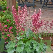 Heuchera 'Berry timeless'.