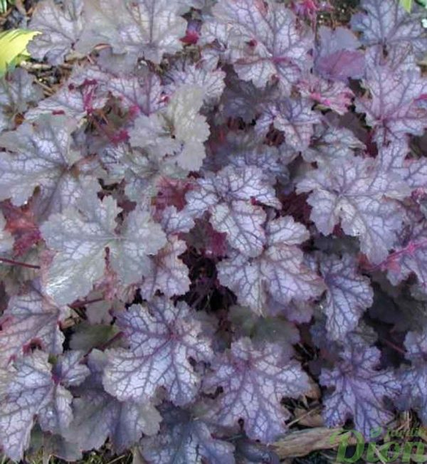 heuchera-can-can.jpg