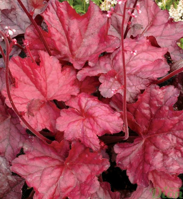 heuchera-fire-chief.jpg