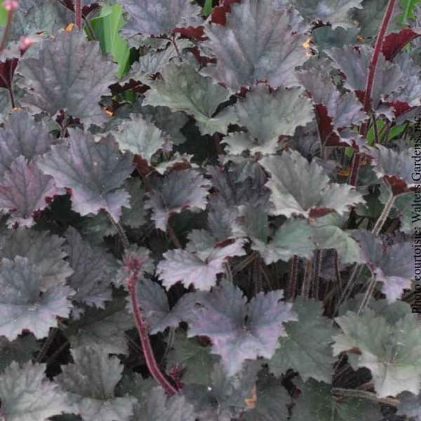 heuchera-frosted-violet.jpg