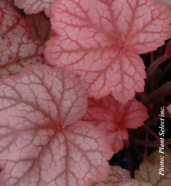 heuchera-georgia-peach.jpg