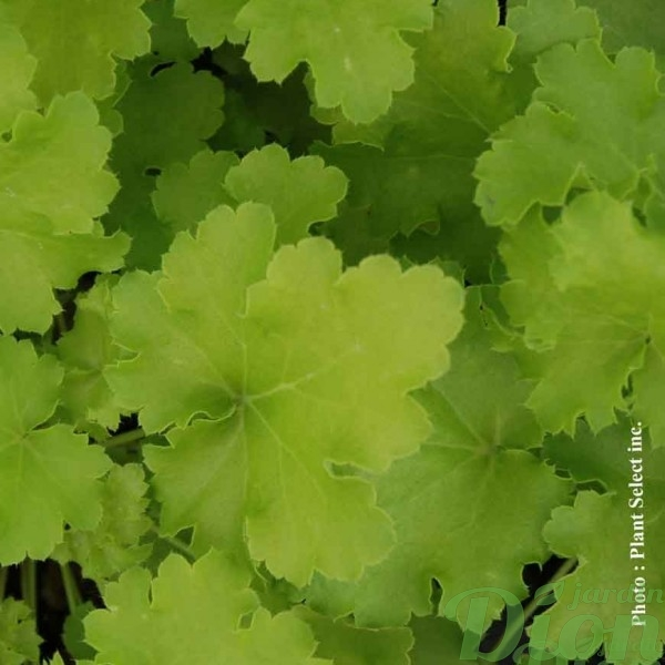 heuchera-lime-rickey.jpg