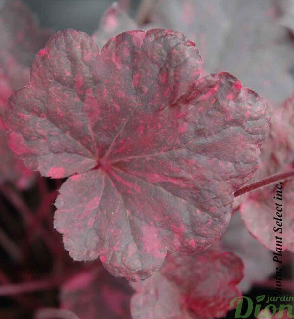 Heuchera 'Midnight rose'