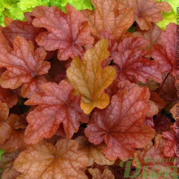 heuchera-peach-flambe.jpg