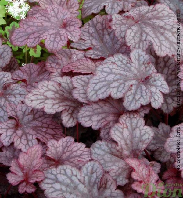 heuchera-plum-pudding.jpg