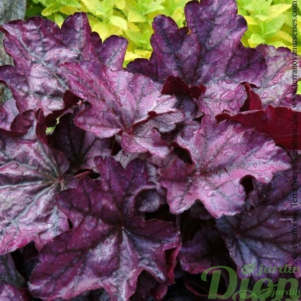 heuchera-plum-royale.jpg