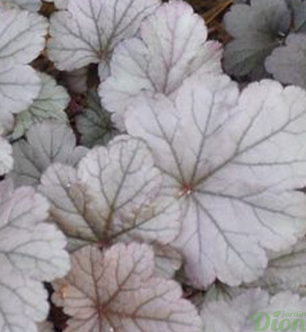 heuchera-stainless-steel.jpg