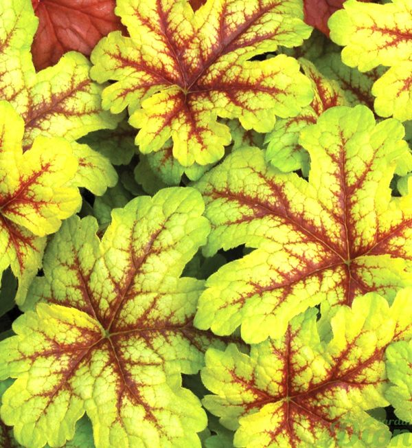Heucherella 'Alamaba sunrise'
