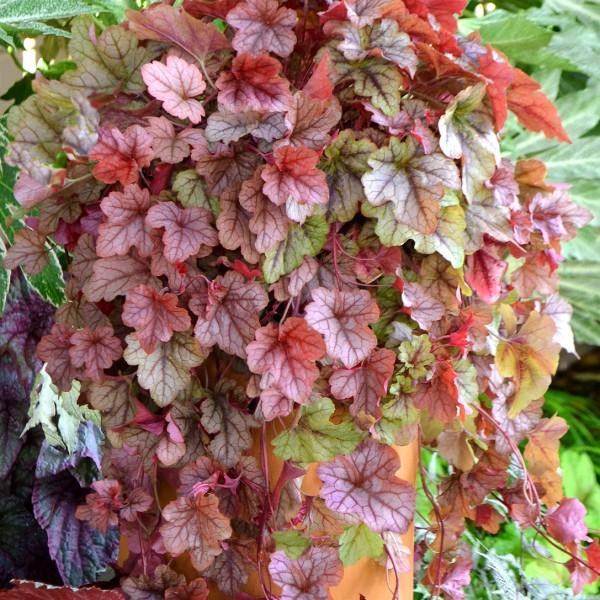 heucherella-copper-cascade.jpg