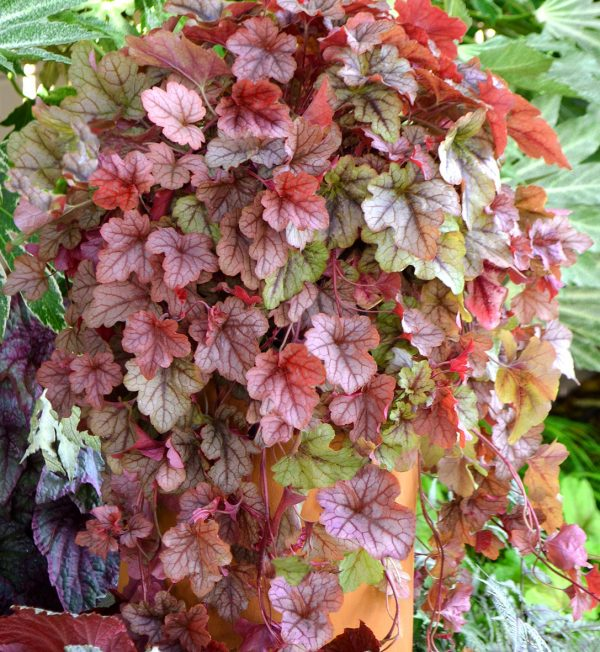 heucherella-copper-cascade.jpg