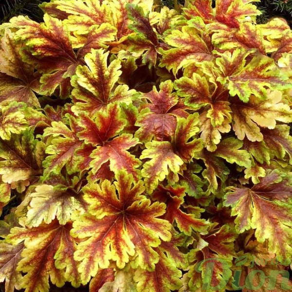 heucherella-golden-zebra.jpg