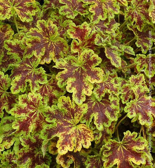 heucherella-solar-power.jpg