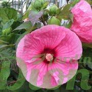 Hibiscus Brandy Punch fleur et boutons