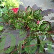 Boutons de fleurs Hibiscus Cherry Brandy