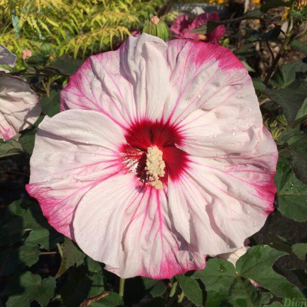 Hibiscus Cherry Cheesecake