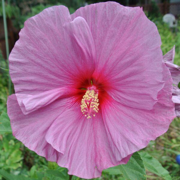Hibiscus Fantasia