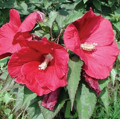 Hibiscus moscheutos  'Crannberry punch'