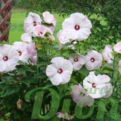 Hibiscus moscheutos 'Pinot.grigio'