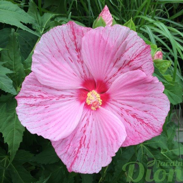 Hibiscus Peppermint Schnapps