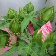 Boutons de l'Hibiscus Peppermint Schnapps