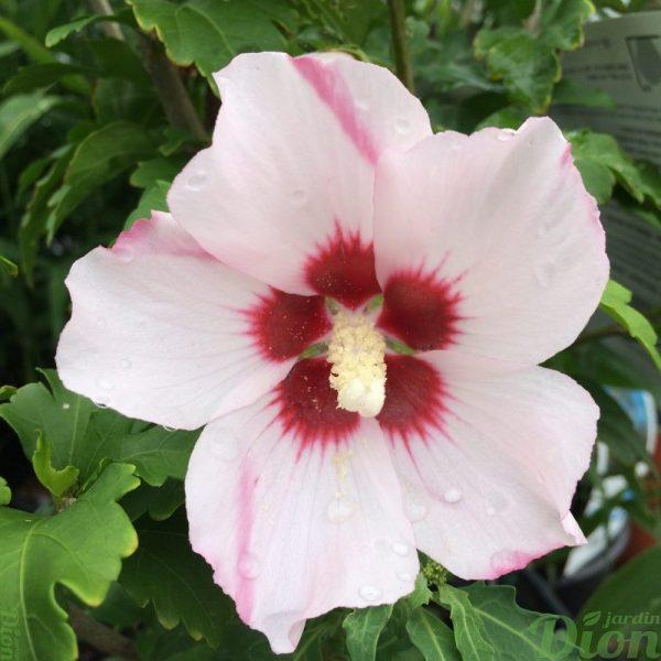 Hibiscus syriacus Blush Satin