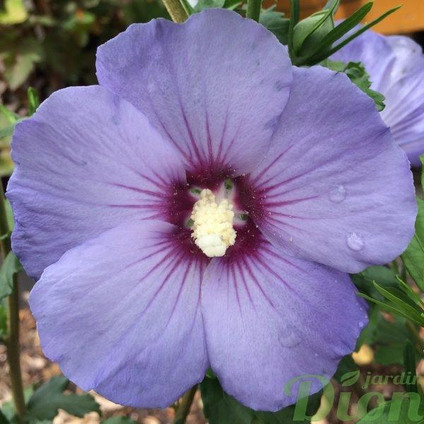 Hibiscus syriacus Oiseau Bleu